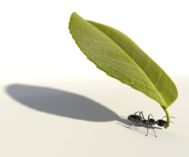 Powerful ant carrying a leaf